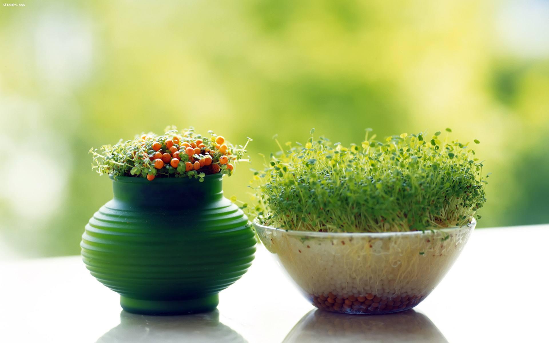 روش های کاشت سبزه دو رنگ برای عید نوروز-درست مصرف کنیم - آموزش همگانی - آگاهی مصرف