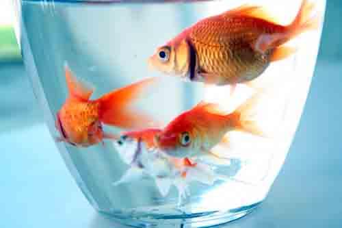 آموزش خرید و نگهداری ماهی قرمز عید نوروز- پایگاه دانستنی آنلاین