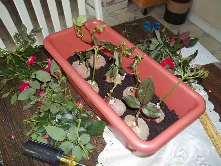 پرورش گل رز با سیب زمینی + ویدئو- پایگاه اینترنتی دانستنی آنلاین ایران
