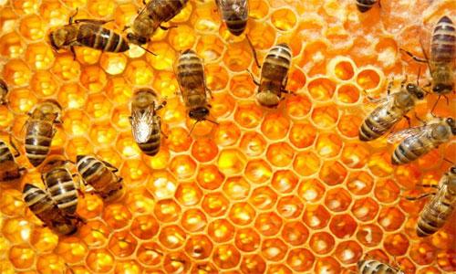 دانستنی هایی در مورد زندگی زنبور عسل +ویدئو- پایگاه دانستنی آنلاین