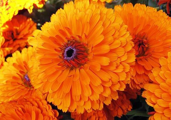 آموزش کاشت و نگهداری گل همیشه بهار +ویدئو- پایگاه دانستنی آنلاین