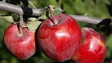 سیب تو سرخ آذربایجان سرشار از آنتی اکسیدان
