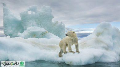 آخرین یخهای قطب شمال آخرین زیستگاه بسیاری از گونههای حیاتوحش قطبی
