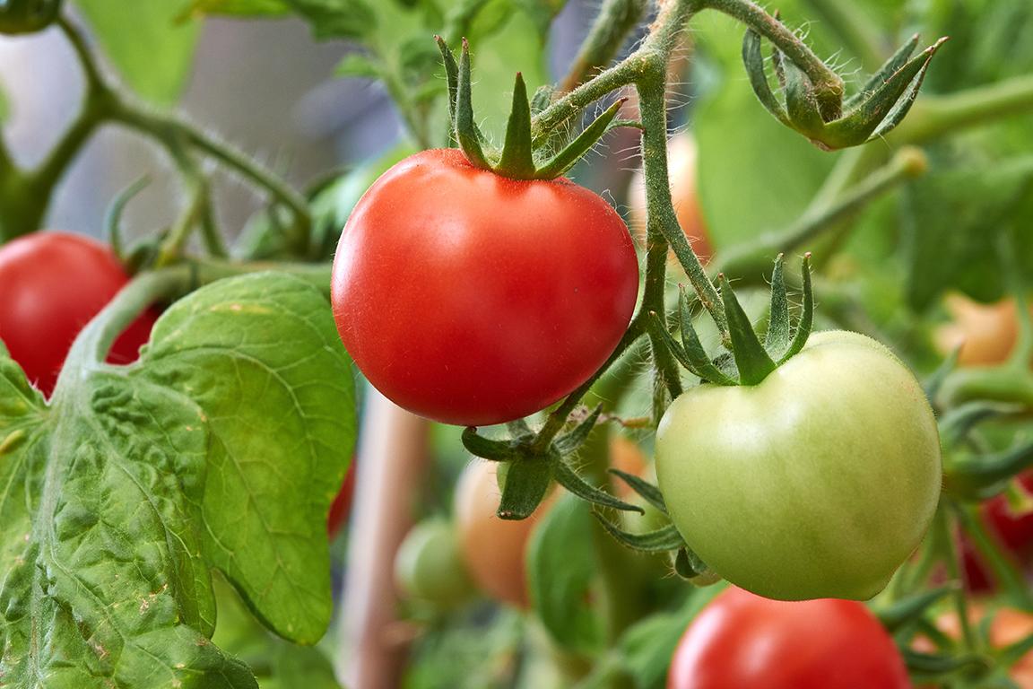 روش پرورش گوجه فرنگی در منزل-درست مصرف کنیم - آموزش همگانی - آگاهی مصرفَ