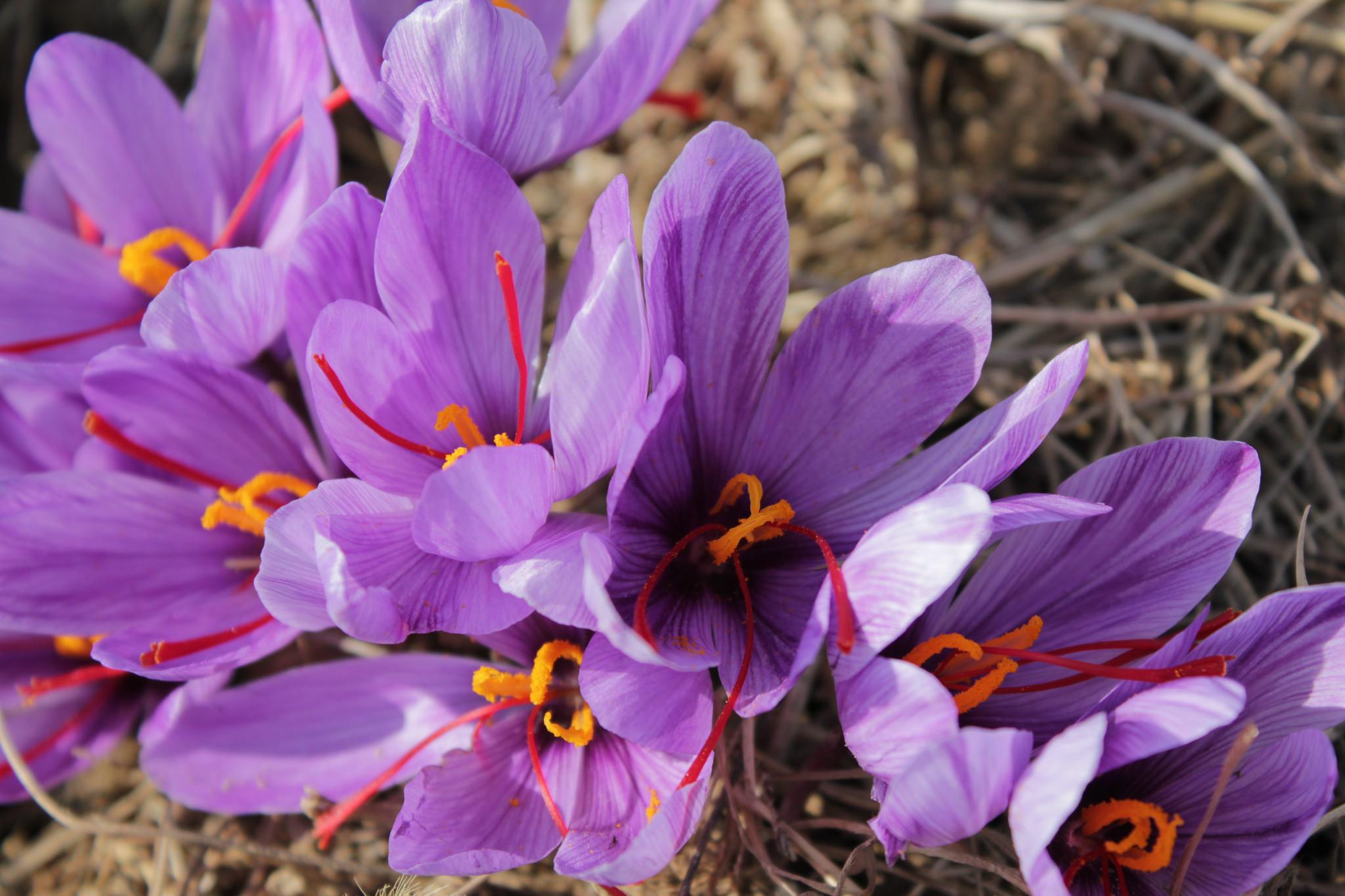 چگونه زعفران اصل بخریم؟- پایگاه اینترنتی دانستنی در ایران