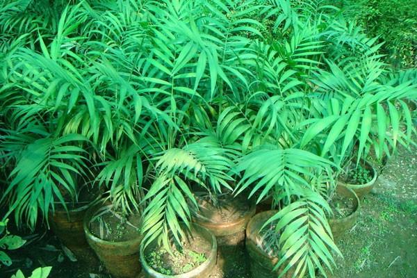 روش کاشت و پرورش گیاه آپارتمانی شامادورا- پایگاه اینترنتی دانستنی در ایران