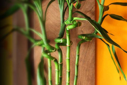 فواید درمانی گیاه بامبو- پایگاه اینترنتی دانستنی ایران