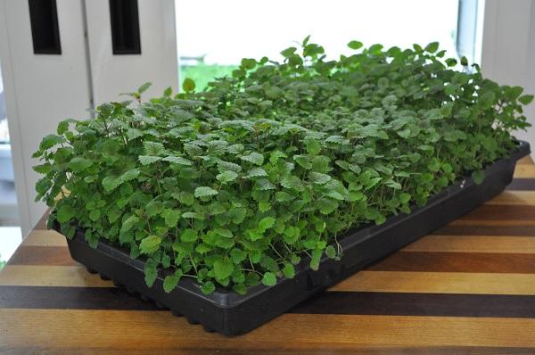 آموزش کاشت سبزی خوردن در گلدان+ ویدئو- پایگاه دانستنی آنلاین