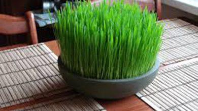 آموزش سبز کردن سبزه گندم برای سفره هفت سین + ویدئو