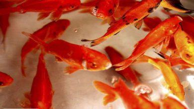 چند نکته مهم در مورد نگهداری و خرید ماهی قرمز عید