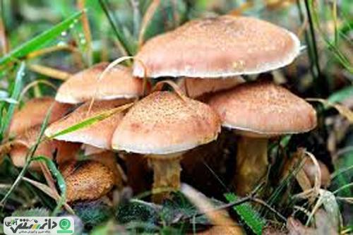 مشکل قارچهای سمی چیست؟